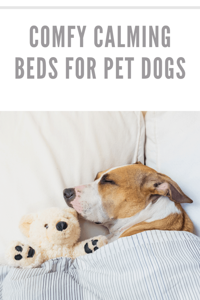 Cute dog sleeping in bed with a fluffy toy bear. Staffordshire terrier puppy resting in clean white bedroom at home