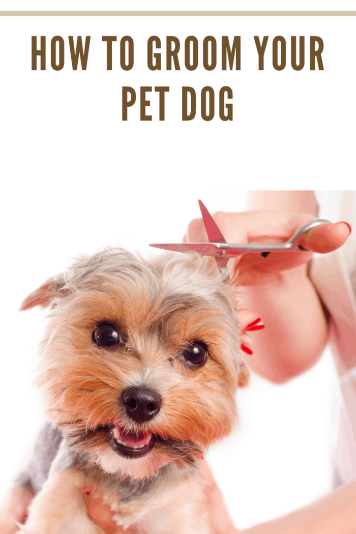 Closeup cute Yorkshire grooming , woman holding scissors above dogs head
