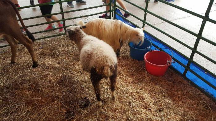 the great pumpkin fest pony and sheep
