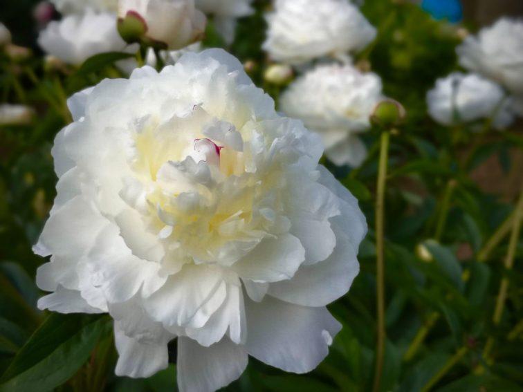 戸山公園のバラ2020年5月13日-12