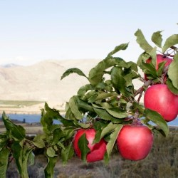 Pacific Rose Apples on a tree in Brewster, Washington (640×412)