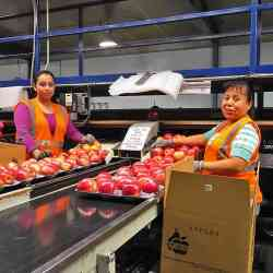 Packing Pacific Rose apple with care