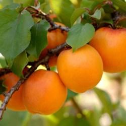 Sweet Apricot  Tree