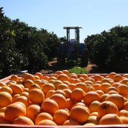 Sunkist Navel Orange  Harvest