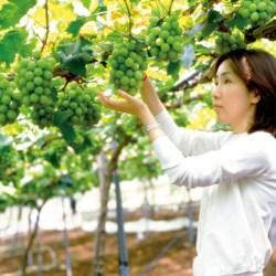 Shine Muscat Grapes Farm