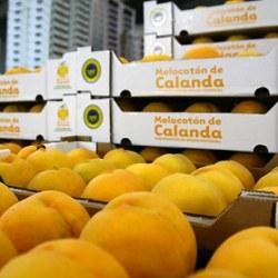 Calanda Yellow Peach  Harvest