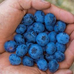 Eureka Sweet Blueberry Harvest