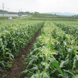 japanese-gold-rush-white-corn-farm