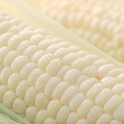 japanese-gold-rush-white-corn-fresh