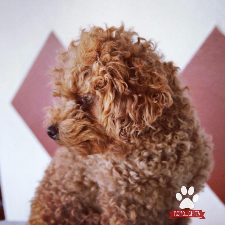 Teddyschnitt  Pudelschur  Momo_chita