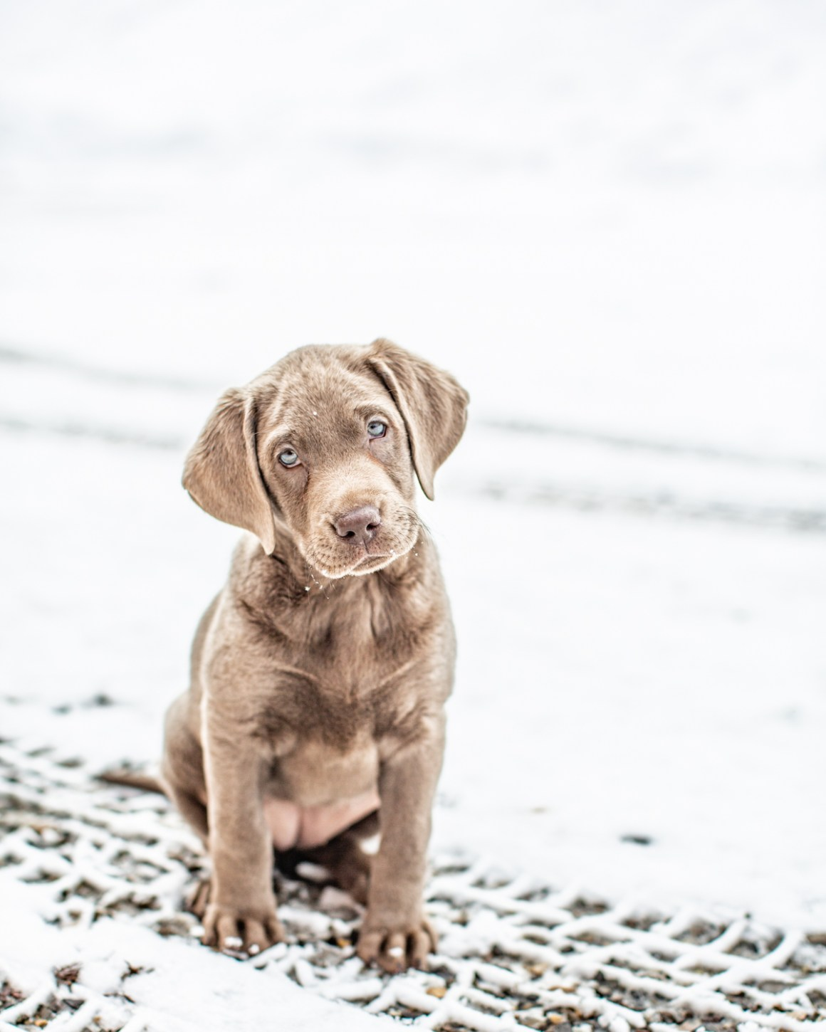 Our Latest Adventure: Meet Zella, The Silver Lab • mom on a