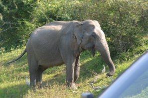 ヤーラ国立公園の象-3