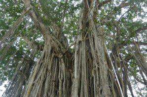 タンガッラの巨木