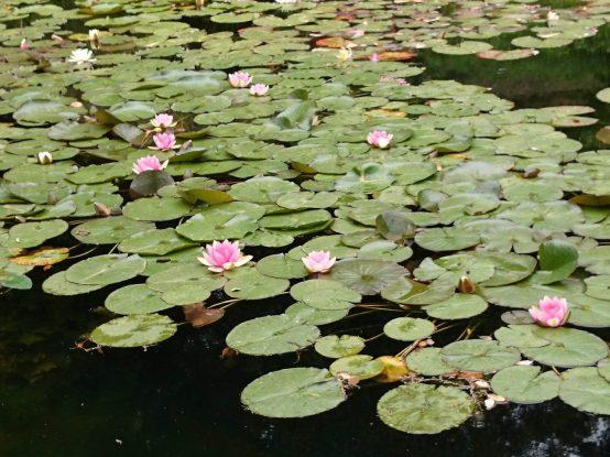 モンセラーテの花々-睡蓮