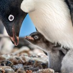 Disneynature Penguins – In Theaters Today