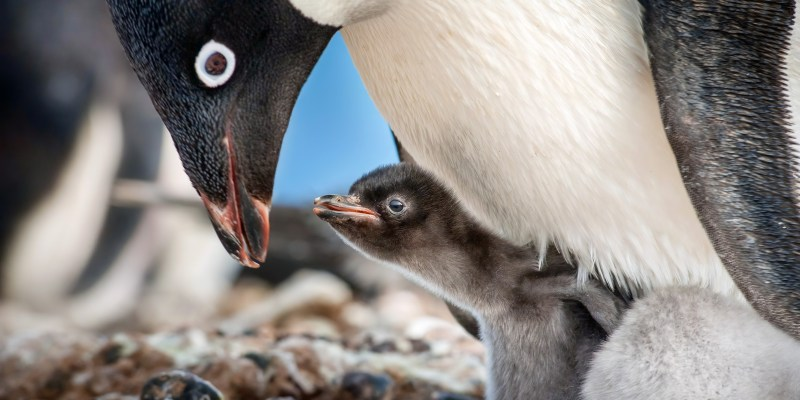 Disneynature Penguins - In Theaters Today