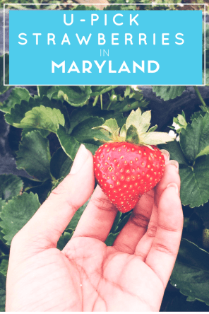 Pick-Your-Own-Strawberry-Farms-in-Maryland