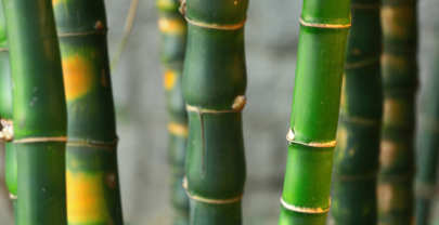 Love like Bamboo