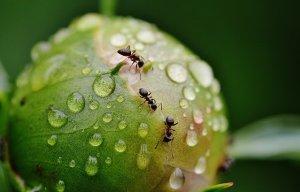 défi au jardin : pesticides - Fourmis sur bourgeon de pivoine - mon alter eco