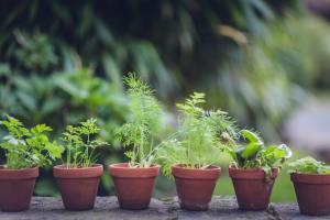 De nombreux aromates peuvent encore être semés en juin
