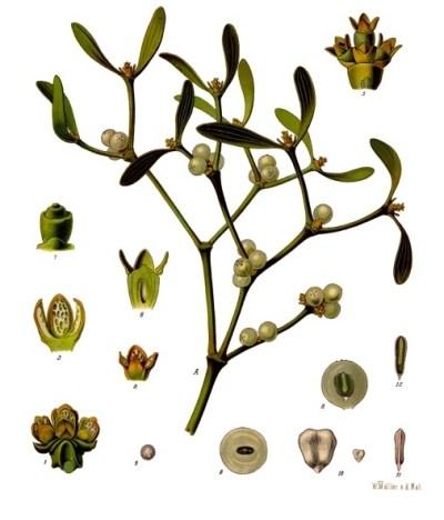 Planche botanique illustrant le gui, datée de 1897. Par F.E.Köhler dans Köhler's Medizinal-Pflanzen