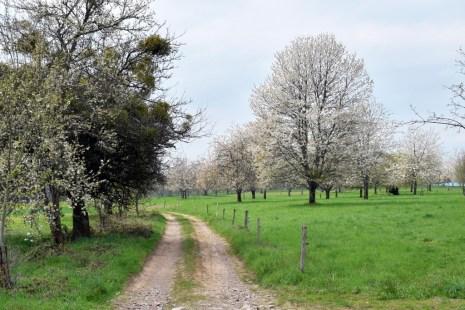 Cerisiers en fleurs près de Fougerolles © French Moments