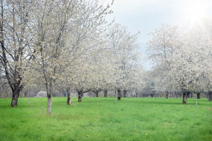Les cerisiers de Fougerolles en fleurs © French Moments