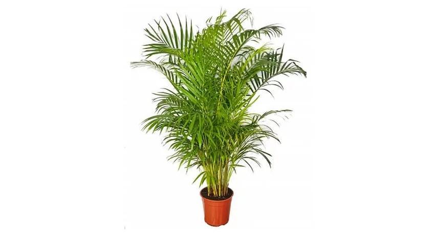 Aréca, plante d'intérieur