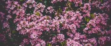 champ de fleurs roses