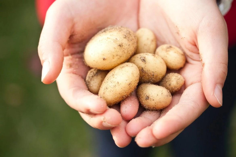 La pomme de terre à cultiver