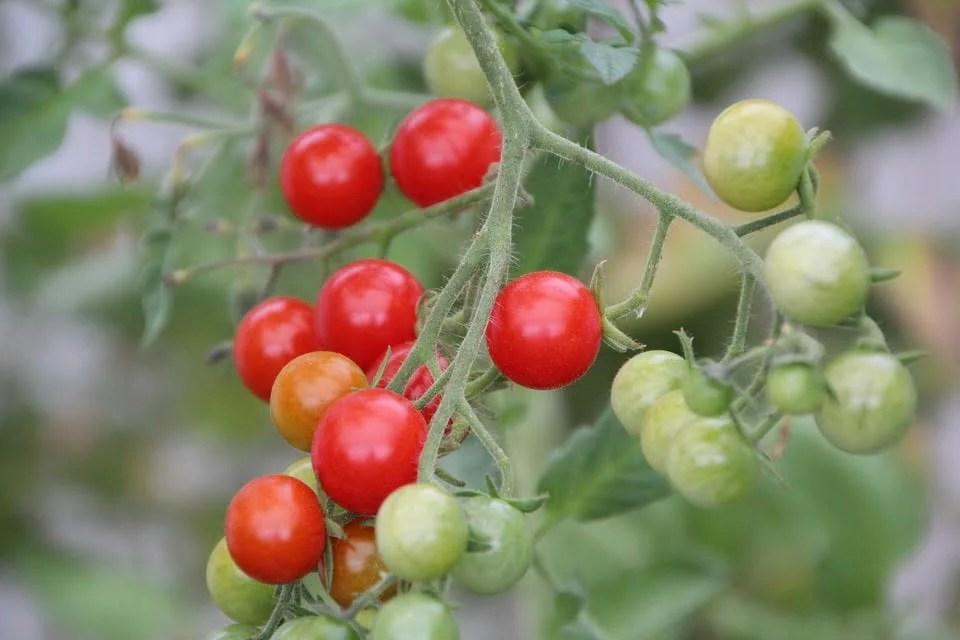 Cultiver des tomates cerises en intérieur