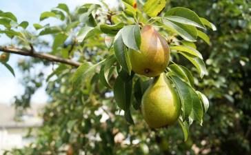 Arbre fruitier, le poirier, conseils et entretien