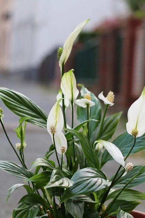 Spathiphyllum, la fleur de lune