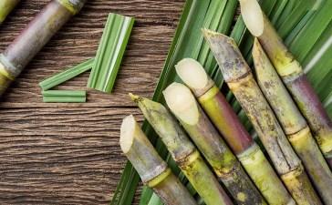 Cultiver de la canne à sucre