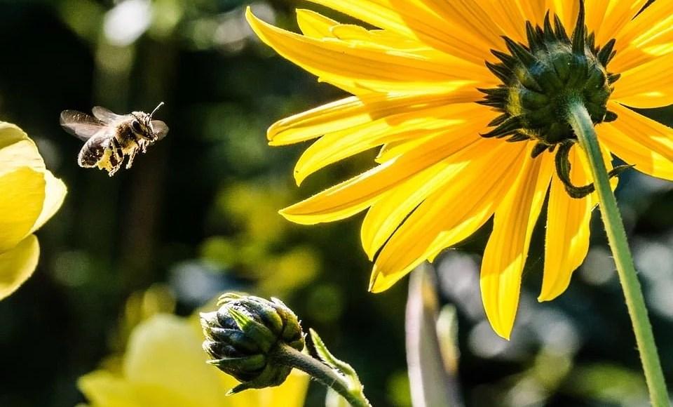 Attirer les abeilles avec fleurs