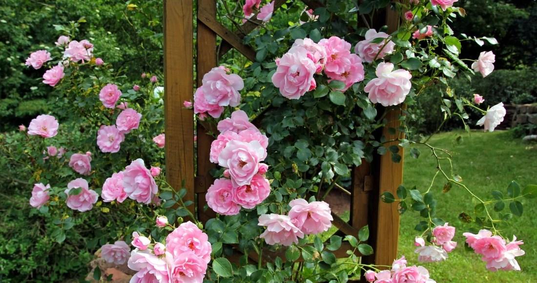 cultiver de belles roses