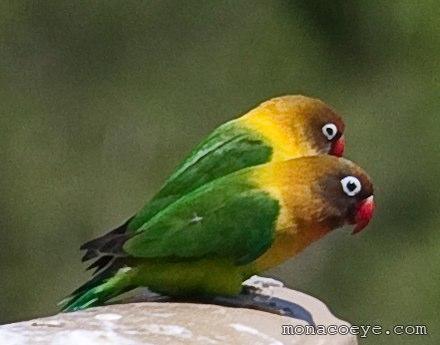fischer s lovebird psittacidae