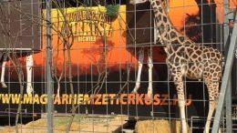 La bellissima giraffa fotografata ieri, domenica 4 febbraio, nella zona a lei riservata accanto al tendone del Festival New Generation di Monte Carlo. Ft.©MCD