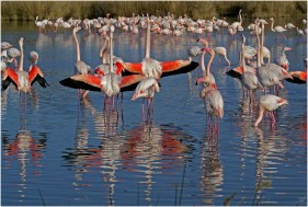 Pink flamingos in Camargue area