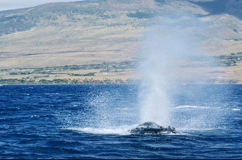 Whale Watching Season Maui Ritz Carlton