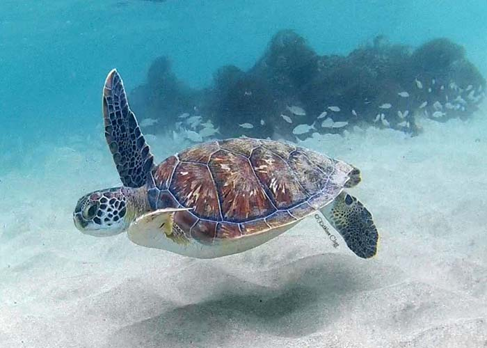 Turtle at Anse Dufour