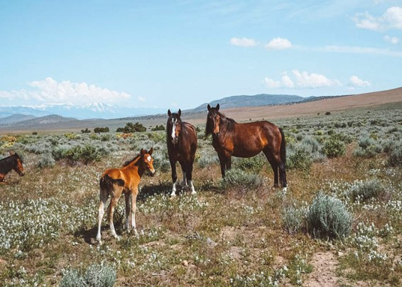 carson valley wild horses