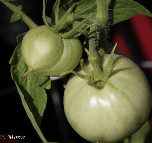 Have you ever eaten fried green tomatoes?