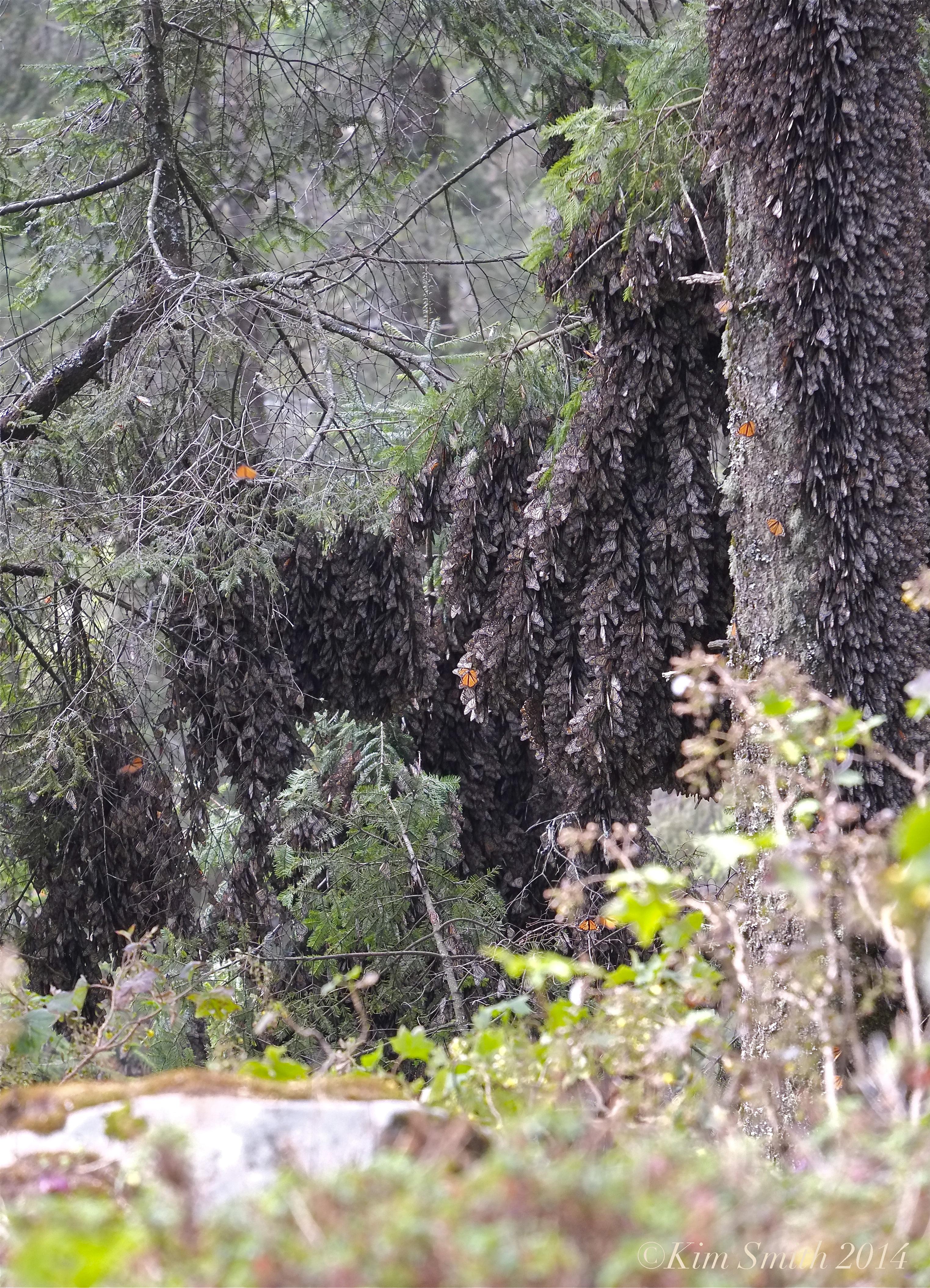 Oyamel Fir Tree