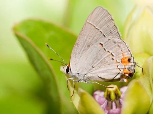 A hairstreak butterfly rests its wings on spring blooming green antelopehorn milkweed (Asclepias viridis)