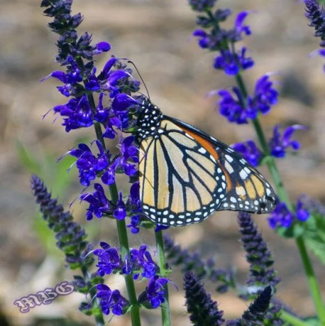 5 Spring Plants that could save Monarch butterflies? 'May night' salvia is an early blooming variety that can sustain monarchs early in the butterfly season. See all five spring plant ideas for monarchs here...