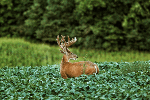 A tall-antlered buck in a green field