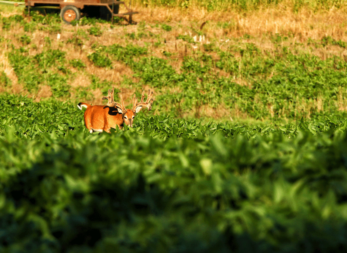 A buck walking up hill with an old tractor in the background
