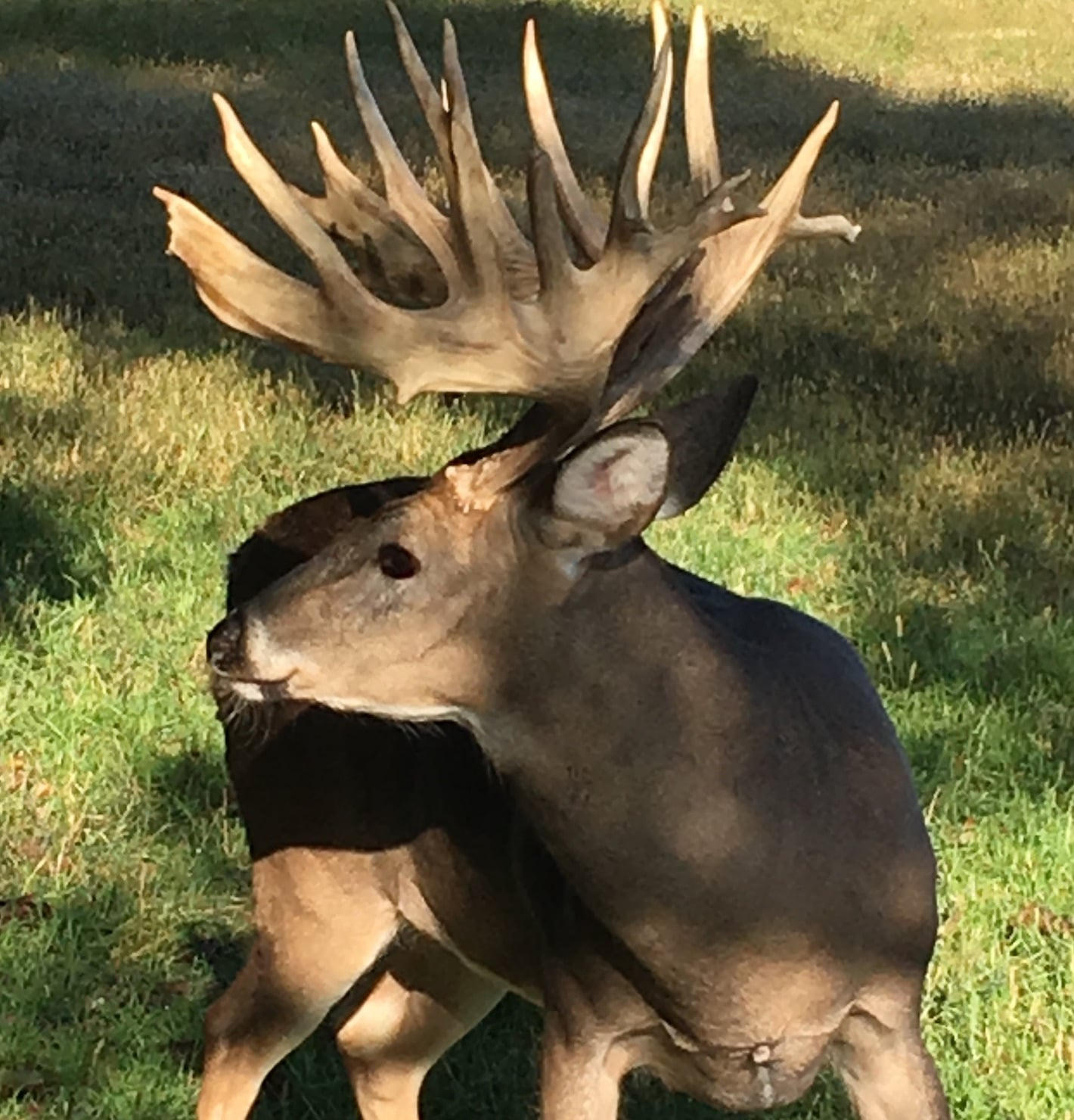 Whitetail Buck with Massive Antlers