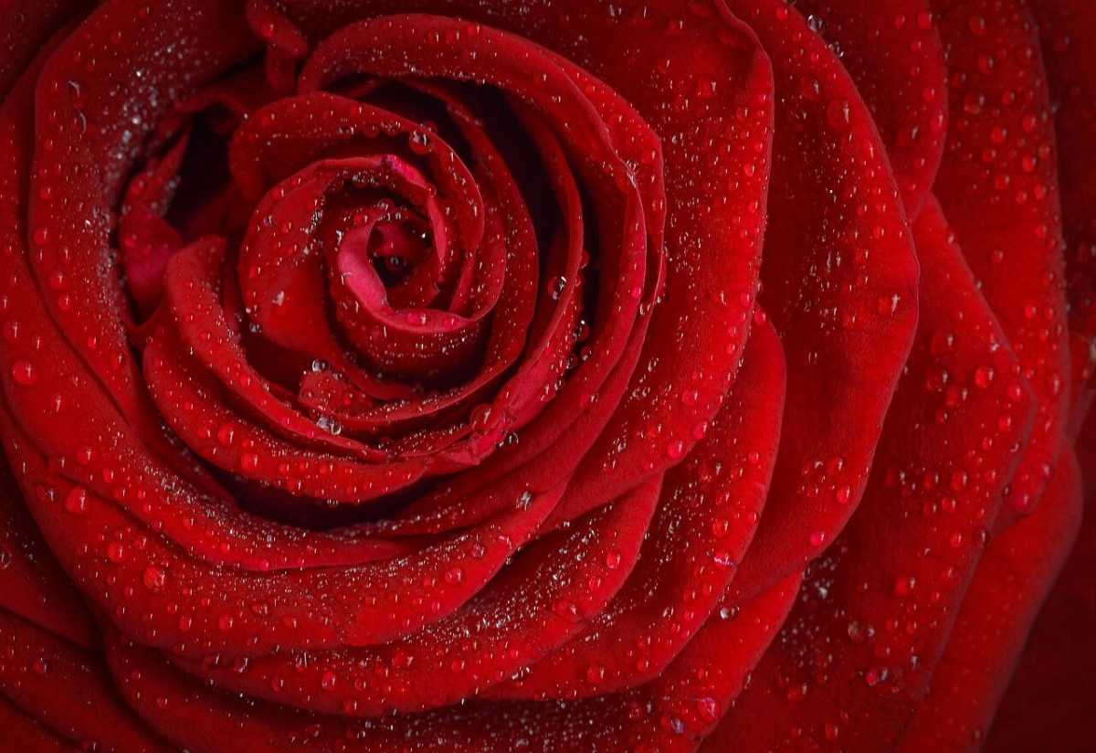 si ce sont des roses